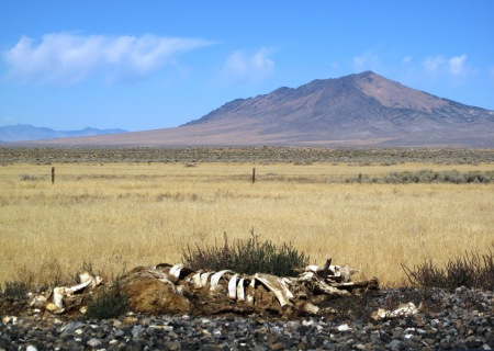 Cow skeleton in Nevada desert